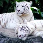 """White Tigers I"" by BarryJohansen"