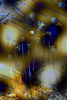 Allium in Blue and Yellow Abstract