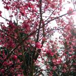 """Magnolia Tree"" by NicoleSolo"