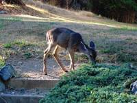 Dwarfed deer on Orcas Island