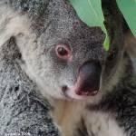 """""""Koala"""" by jiva"""