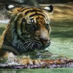 """Tiger"" by jiva"