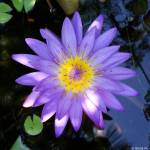"""Macro Purple water Lilly"" by jiva"