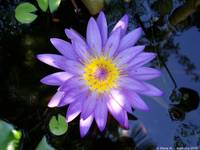 Macro Purple water Lilly