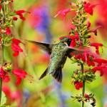 """Male Ruby-Throated Hummingbird"" by ovlov"