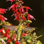 """""""Ruby-Throated Hummingbird feeding"""" by ovlov"""