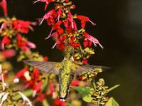 Ruby-Throated Hummingbird feeding