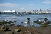Black Swans and Gulls in Williamstown