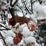 """""""Christmas Cardinal"""" by naturephotos"""