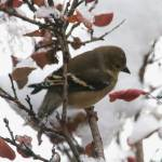"""Goldfinch in Winter"" by naturephotos"