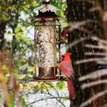 """Cardinal on Feeder"" by naturephotos"