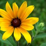 """Black Eyed Susan"" by reflections2"