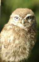 wild young little owl