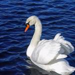 """Swan - Candlewood Lake, Danbury, CT"" by PinakiC"