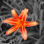"""""""Tigerlilly"""" by weckphotography"""