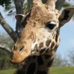 """""""Giraffe"""" by farkus00"""