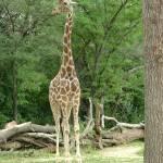"""""""Giraffe Beauty"""" by crazyabouthercats"""