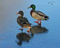 B2 - MR and MRS Mallard Walking