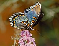 Red Spotted Purple Butterfly Sips