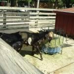 """""""Goats"""" by crazyabouthercats"""