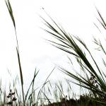 """Beach Grass"" by ArdentPhotography"