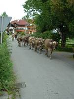 Cows on German Street
