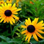 """Black Eyed Susan, Danbury, CT"" by PinakiC"