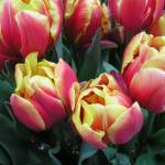 """yellow red tulips"" by LISATRAVELBUG"