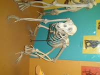 Smithsonian Primate Skeleton
