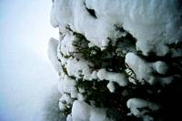 Snow Covered Bush