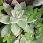 """3/365 succulent and clover"" by lafemmepapier"