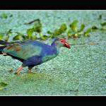 """Purple Swamphen"" by santanu"