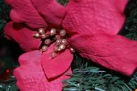 Christmas Red Poinsettia