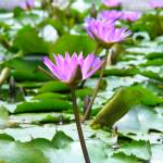 """Pond Lilies"" by eminent"