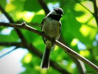 Carolina Chickadee (juvenile)