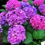 """Lavender Pink Hydranaga"" by LEHB"