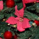 """Christmas Tree Red Poinsettia"" by crazyabouthercats"