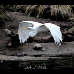 """Egret Daze"" by NaturePlusStudios"