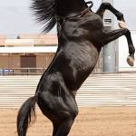 """Black stallion"" by JetRobinson"