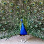 """peacock"" by JetRobinson"