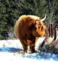Scottish Highland Cattle II