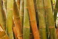 Giant Tropical Bamboo