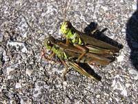 Grasshoppers' Love