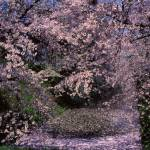 """19950429 Cherry blossom blooms in profusion"" by hiro_23"