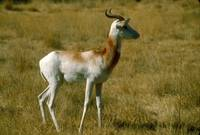 Endangered Dama Gazelle
