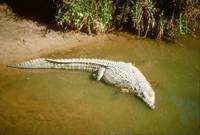 Endangered Nile Crocodile