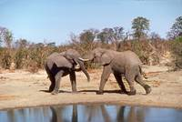 Endangered African Elephants Fighting