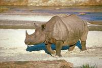 Endangered Great Indian One-Horned Rhino