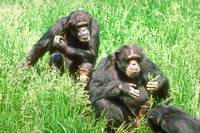 Endangered Chimpanzees with Infant Eating Grass