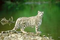 Endangered Snow Leopard Beside River